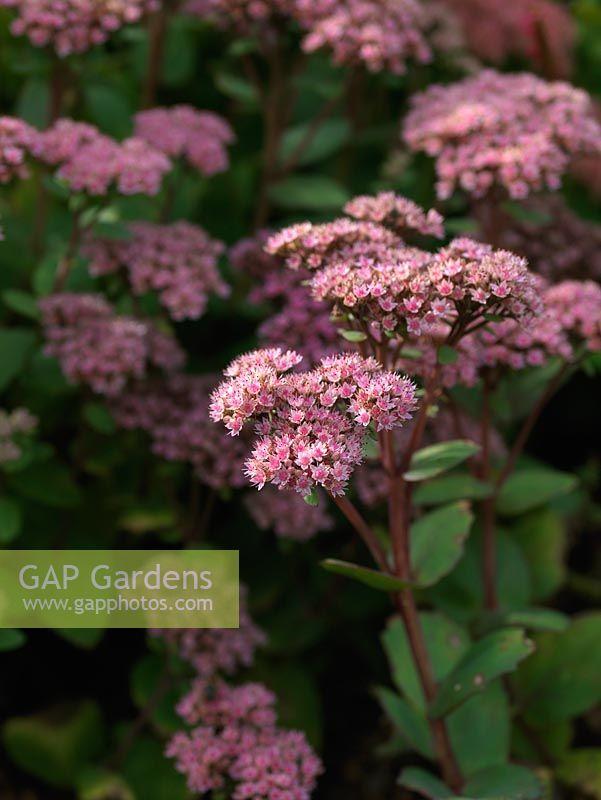 Gap gardens sedum herbstfreude ice plants bears large flat sedum herbstfreude ice plants bears large flat heads of tiny pink flowers in mightylinksfo