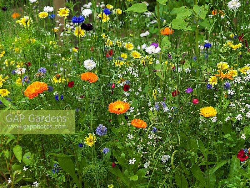 Annual wildflower meadow with marigold, cornflower, corn cockle., poppy and sheepsbit scabious.
