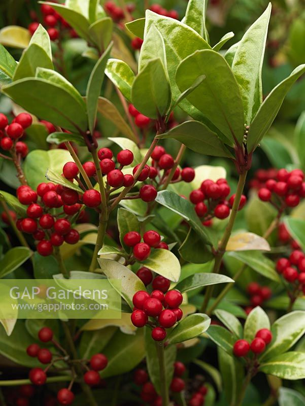Gap gardens skimmia japonica evergreen shrub with fragrant white skimmia japonica evergreen shrub with fragrant white flower in spring and red berries for mightylinksfo