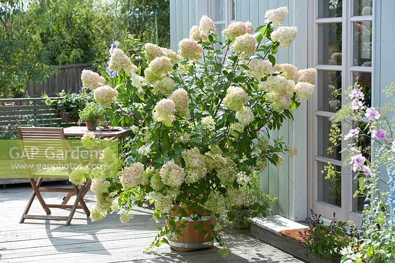 gap gardens hydrangea paniculata 39 limelight 39 in. Black Bedroom Furniture Sets. Home Design Ideas