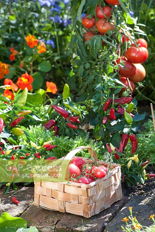 Basket with harvested tomatoes - Lycopersicon. In border Capsicum annuum, Cichorium, Tropaeolum