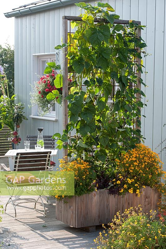 Mobile wooden box with climbing beans used as a screen. Climbing beans - Phaseolus and Thunbergia under planted with Tagetes tenuifolia, Bidens and Alternanthera sessilis