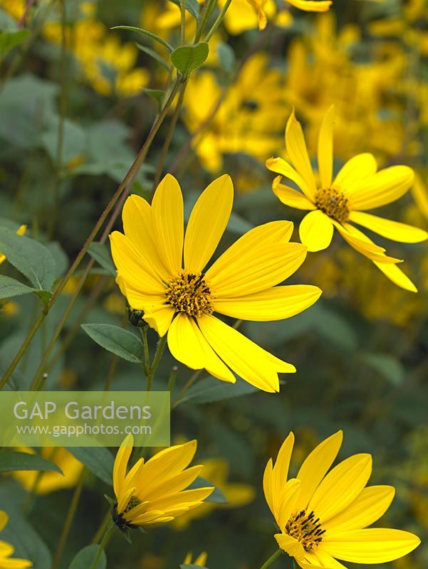 Gap gardens helianthus a vigorous very tall perennial which helianthus a vigorous very tall perennial which forms dense clumps with masses of pretty mightylinksfo