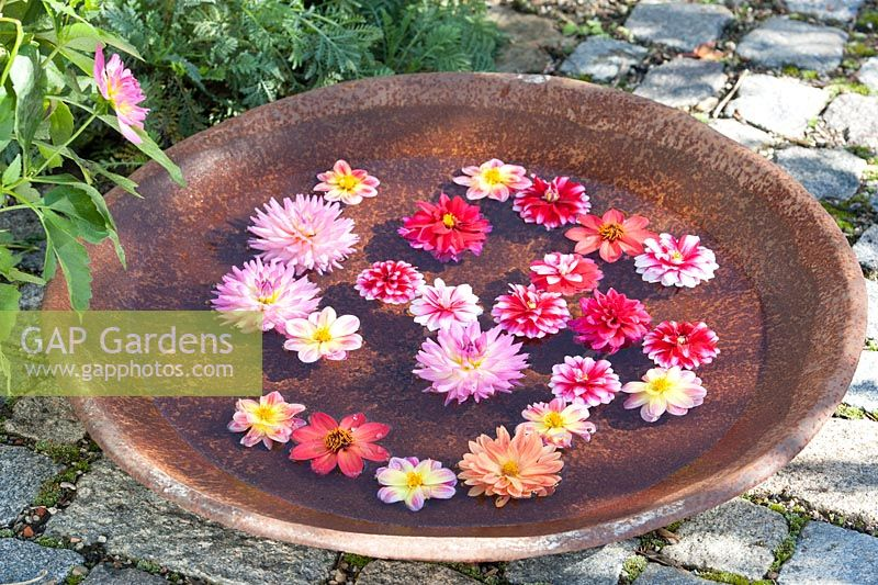 Dahlia flower heads floating in a ceramic bowl with water