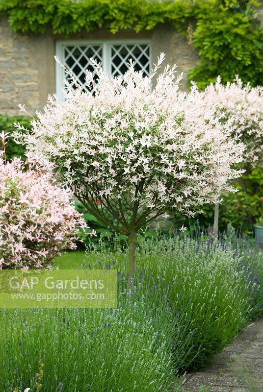 Gap gardens salix integra 39 hakuro nishiki 39 standards along path underplanted with lavender - Salix hakuro nishiki taille ...