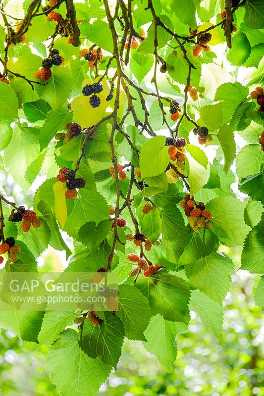 Morus nigra. Black mulberry. Fruits in August
