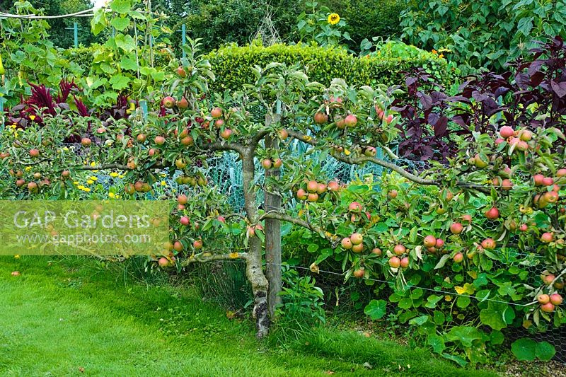 Apple espalier beside ornamental vegetable garden. Wyken Hall, Suffolk
