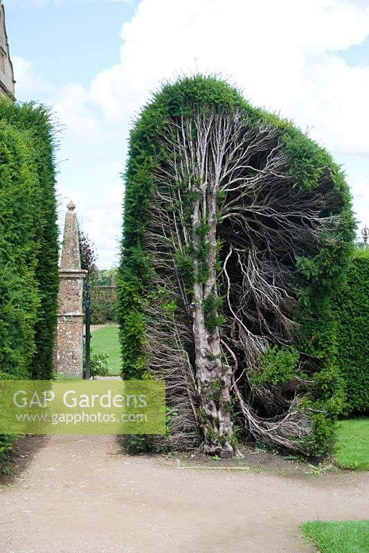 Gap Gardens Old Yew Hedge That Has Been Pruned Back To Restore