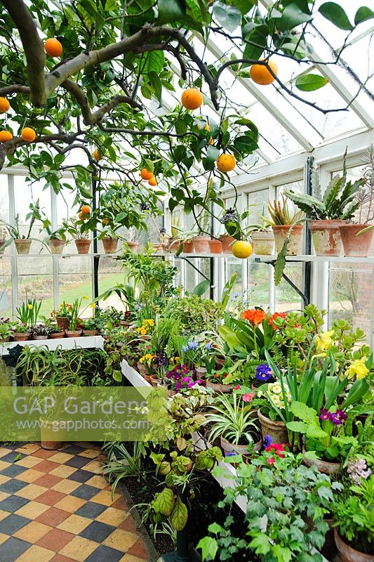 Conservatory in spring with orange tree and wide range of flowering and foliage plants in pots on bench and shelves