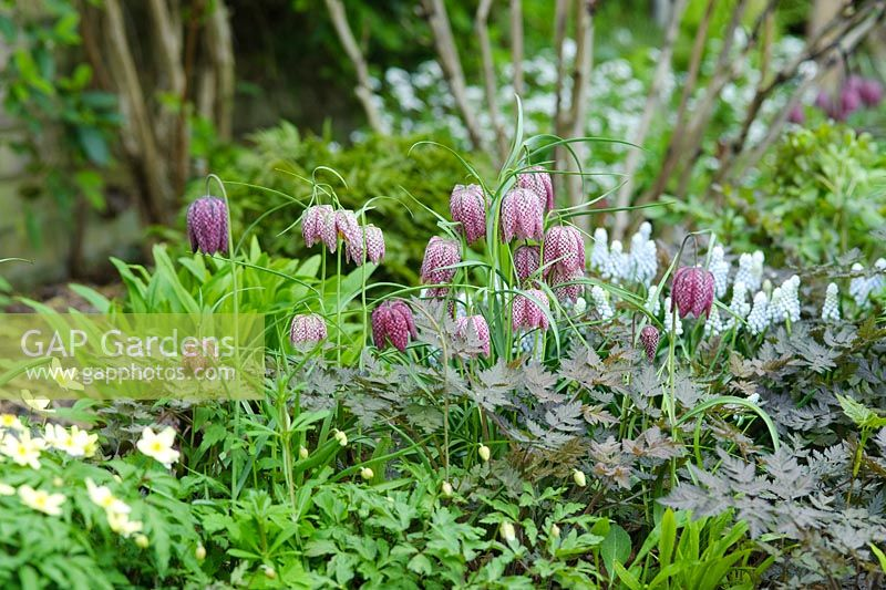 Fritillaria meleagris with Muscari 'Jenny Robinson' Anemone x lipsiensis and young foliage of Anthriscus sylvestris 'Ravenswing'