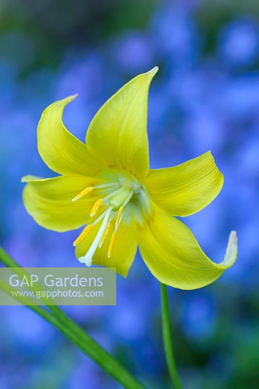 Erythronium 'Pagoda' with Omphalodes cappadocica 'Cherry Ingram' behind