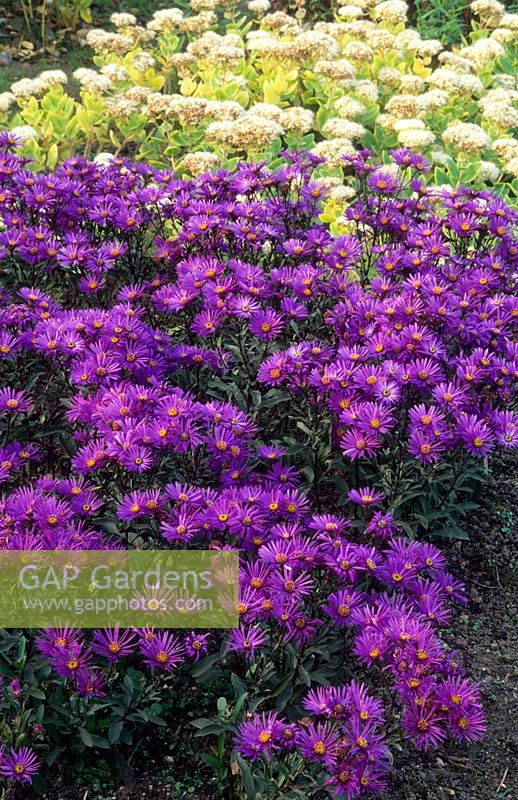 Aster amellus 'Violet Queen'  syn. 'Veilchenkonigin' in flower with Sedum spectabile 'Iceberg'. October