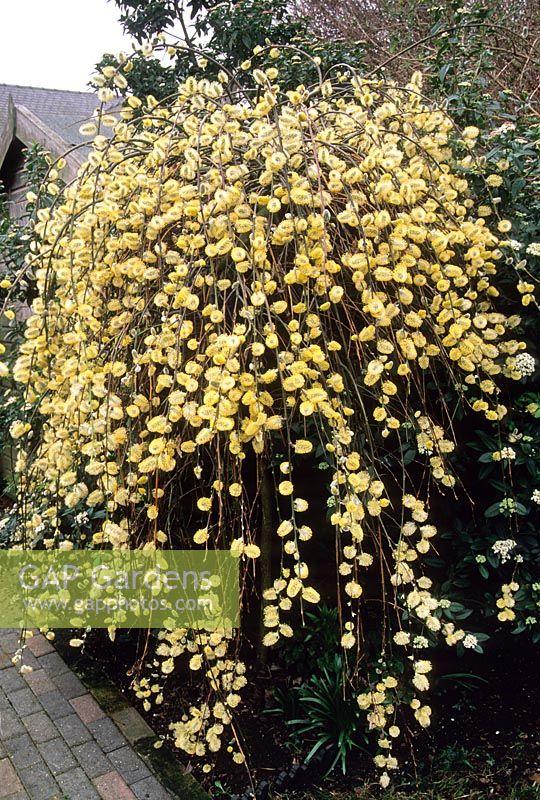 gap gardens salix caprea 39 pendula 39 kilmarnock willow catkins with pollen march image no. Black Bedroom Furniture Sets. Home Design Ideas