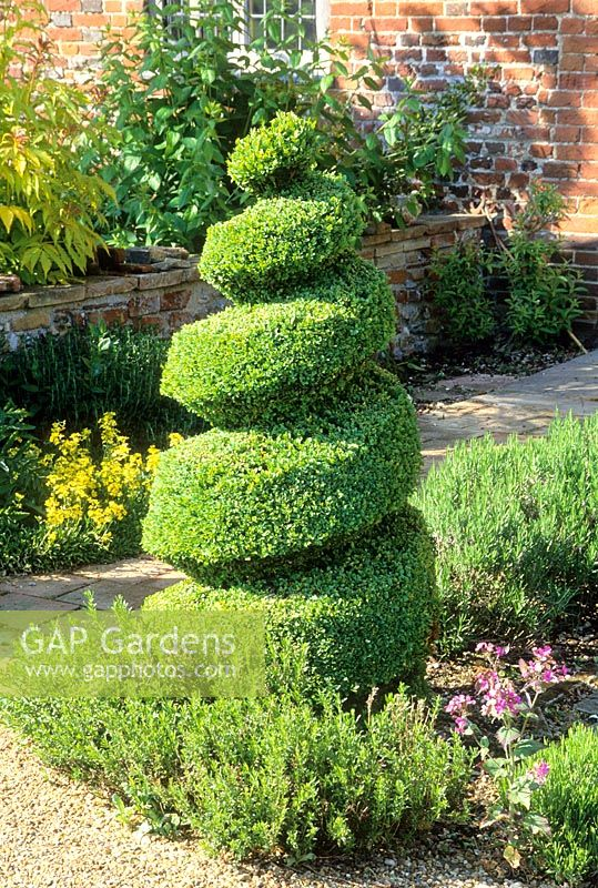 Topiary spiral of Buxus sempervirens. Read's Nursery. Norfolk. May
