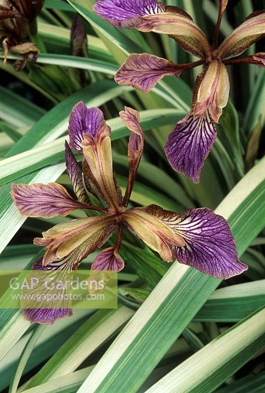 Iris Foetidissima Variegata Flowers And Foliage July