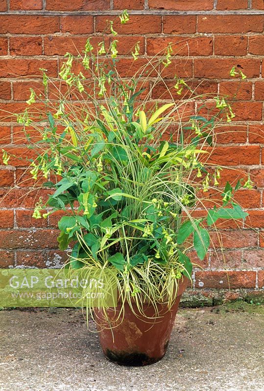 Grasses in terracotta pot in front of red brick wall. Pleioblastus auricomus, Carex hachijoensis 'Evergold', Miscanthus sinensis 'Morning Light' with Nicotiana langsdorffii.