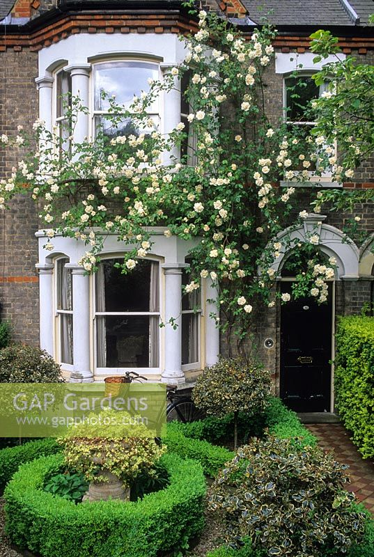 Formal front garden of victorian town house with clipped box parterre, standard Ilex trees, hedera in stone urn. Rosa 'Madame Alfred Carriere' trained on house. May