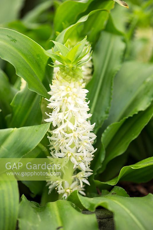 Gap gardens eucomis zambesiaca a hardy pineapple lily with pure eucomis zambesiaca a hardy pineapple lily with pure white flowers which appear from early summer mightylinksfo