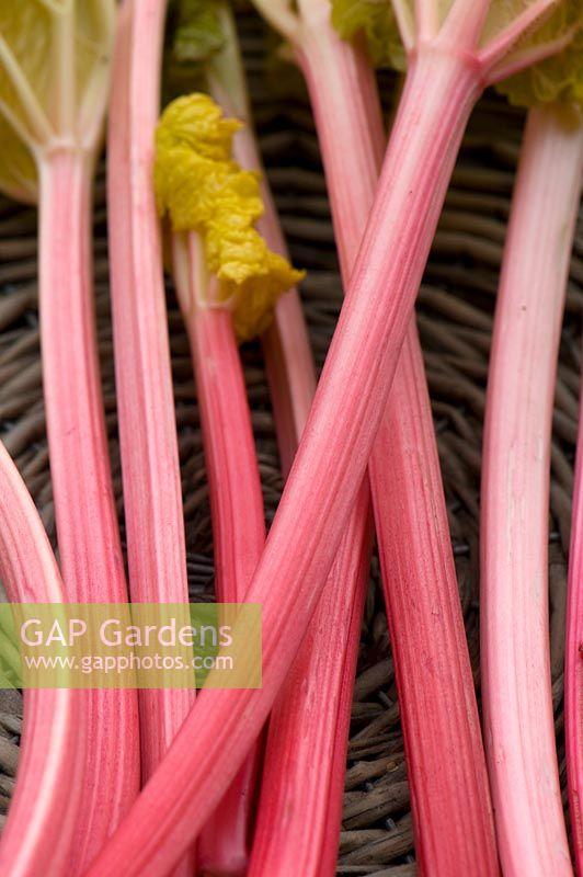Pink stems of forced rhubarb in a basket