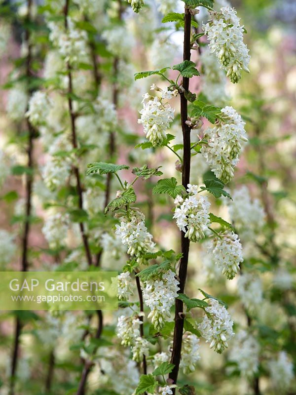 Gap gardens ribes sanguineum tydemans white flowering currant ribes sanguineum tydemans white flowering currant mightylinksfo