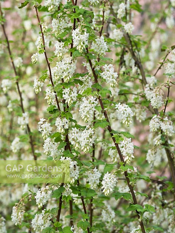 Gap gardens ribes sanguineum ubric syn white icicle white icicle flowering currant mightylinksfo