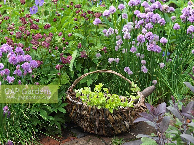 Basket of picked oregano on brick path, against backdrop of chives, astrantia and hardy geranium. Alys Fowler's 18m x 6m, organic, productive and pretty garden.