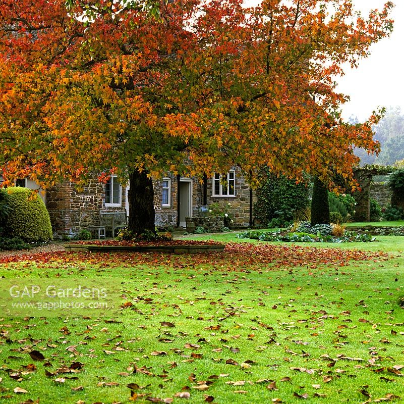 Liquidambar styraciflua Worplesdon with red autumn leaves on lawn. Distant arch in wall. Glimpse of Elizabethan manor house beneath of canopy of tree.