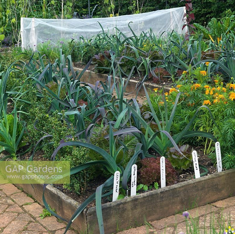 Leek 'St Victor' and lettuces in raised beds, in the kitchen garden at Holt Organic Farm.
