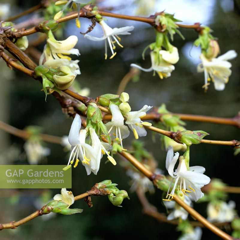 Lonicera x purpusii 'Winter Beauty', a fragrant, winter flowering, semi-evergreen shrub.