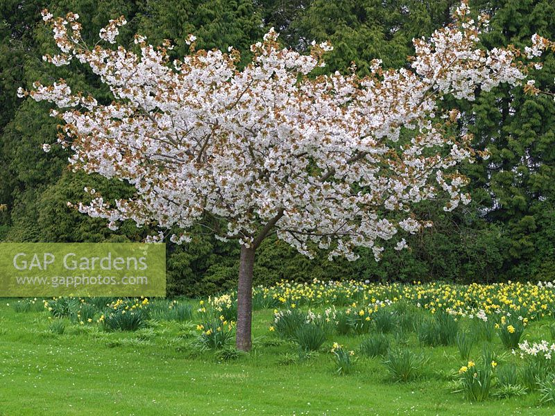 Prunus Taihaku planted in meadow of naturalised daffodils.