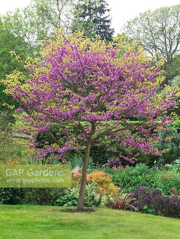Gap gardens cercis siliquastrum judas tree a spreading cercis siliquastrum judas tree a spreading deciduous specimen tree with small heart mightylinksfo