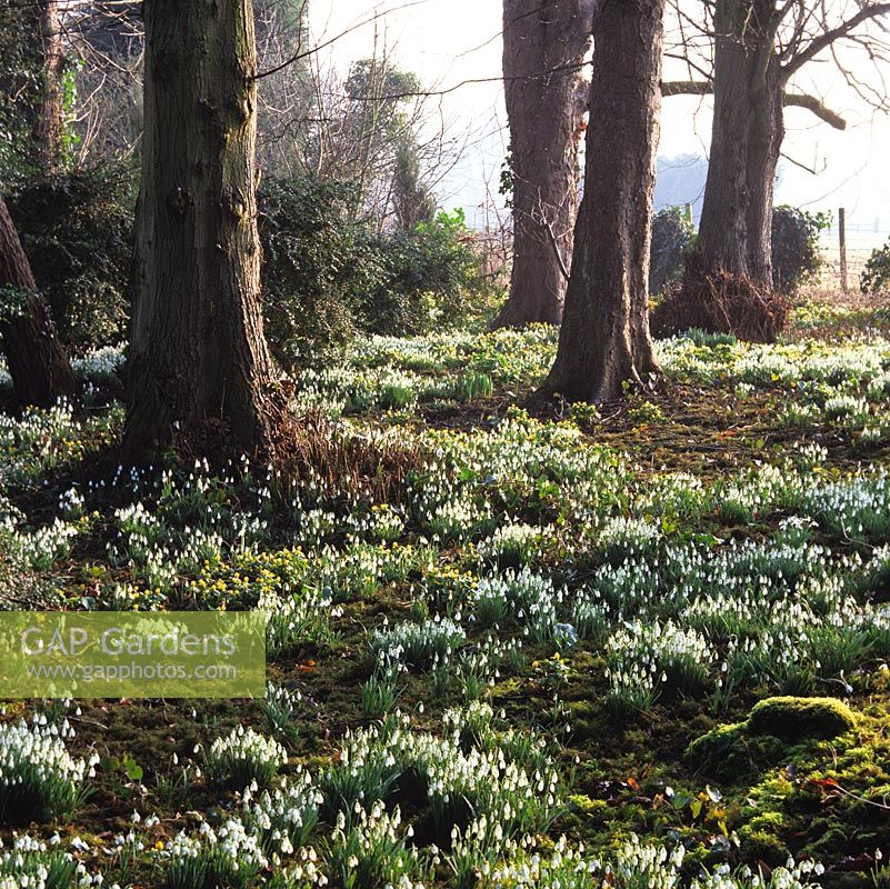 In early morning winter sun, woodland carpeted with moss, snowdrops - Galanthus nivalis, G. nivalis Flore Pleno and winter aconites - Eranthis hyemalis