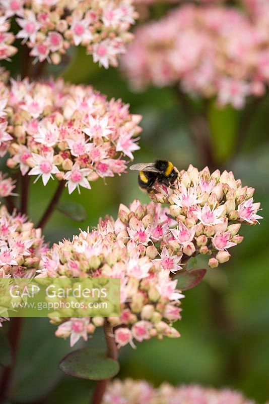 Bumble Bee on Sedum telephium 'Matrona' AGM. Stonecrop