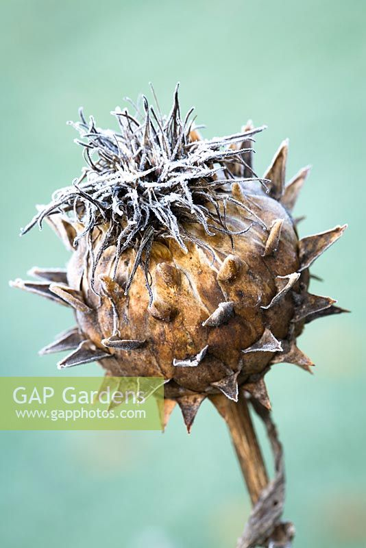 Cynara cardunculus - Frost on cardoon seedhead.