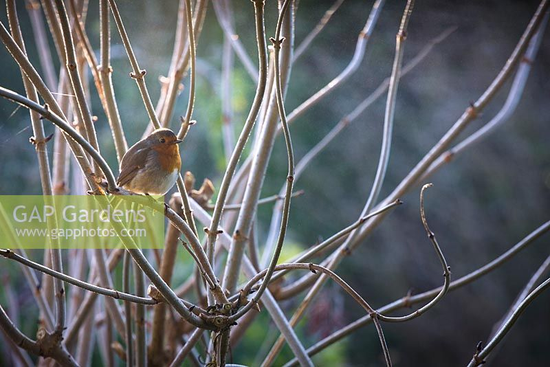 Robin on a frosty winter's morning