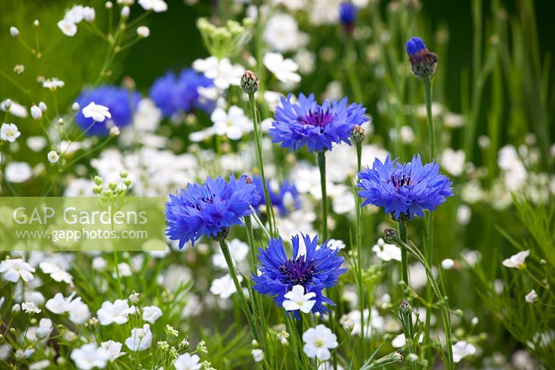 Centaurea cyanus and Gypsophila elegans - Cornflowers and Gypsophila