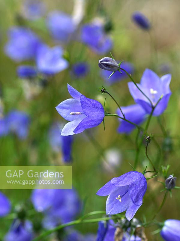Gap gardens campanula rotundifolia a perennial bearing nodding campanula rotundifolia a perennial bearing nodding blue bell like flowers in summer mightylinksfo