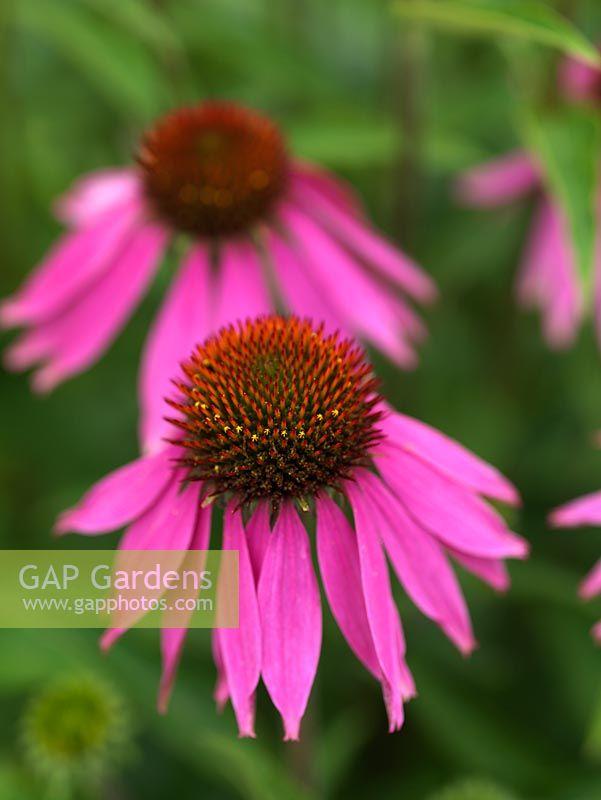 Gap Gardens Echinacea Purpurea A Tough Long Flowering Perennial