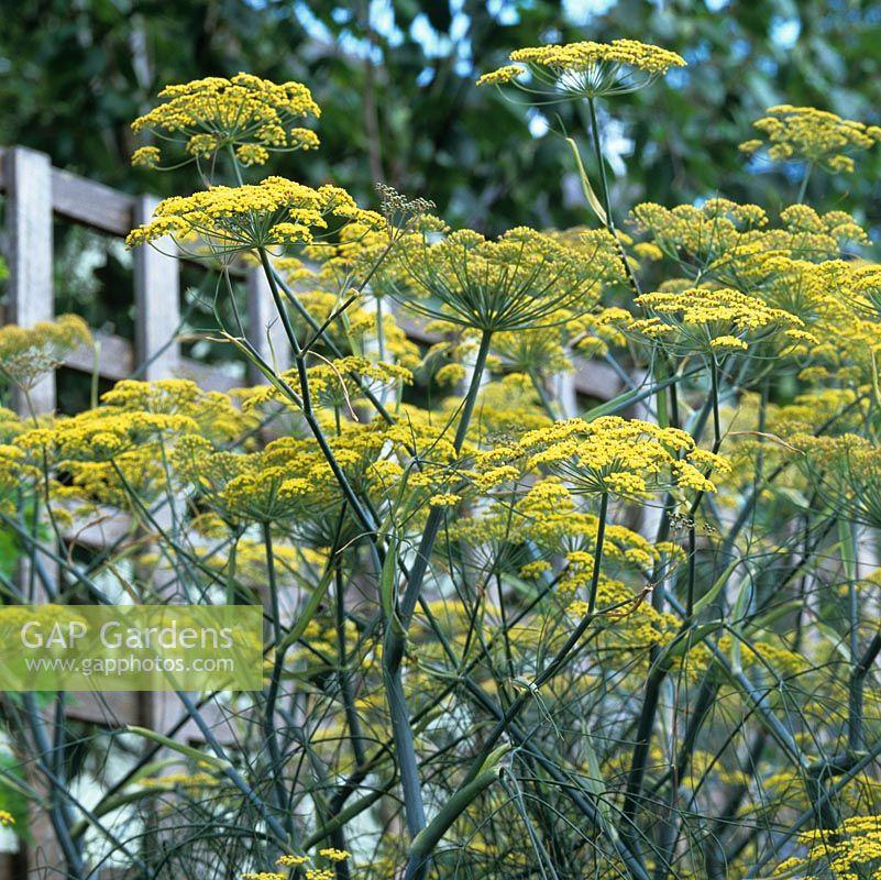 Gap Gardens Foeniculum Vulgare Fennel Is A Self Seeding