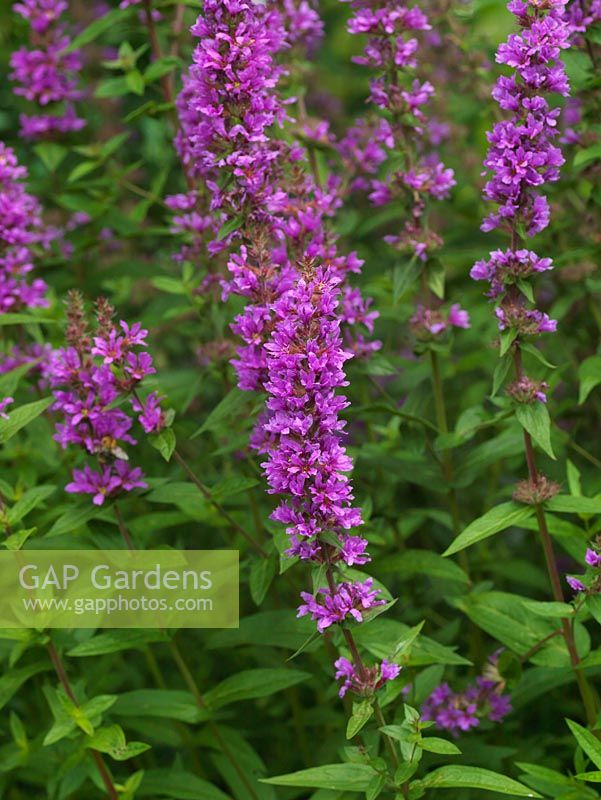 Gap gardens lythrum salicaria purple loosestrife a perennial lythrum salicaria purple loosestrife a perennial bearing spikes of bright pink flowers in summer mightylinksfo