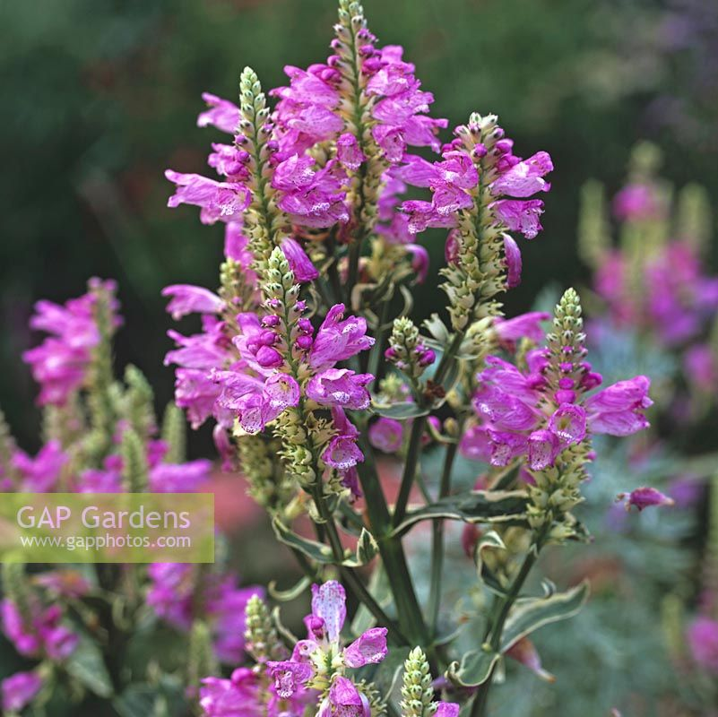 Gap Gardens Physostegia Virginiana Or Obedient Plant A Spreading