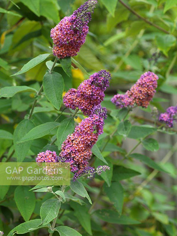 gap gardens buddleja weyeriana bicolor syn b flower. Black Bedroom Furniture Sets. Home Design Ideas