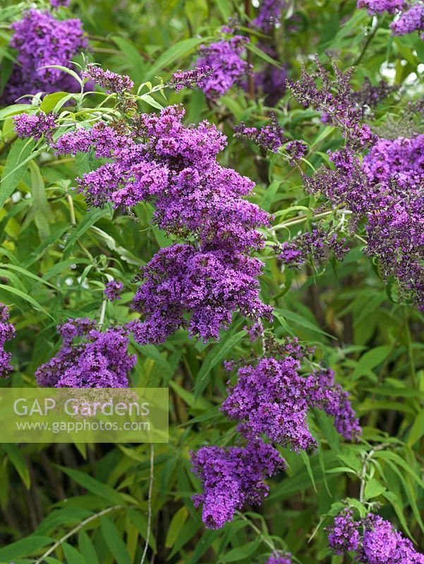 Buddleja davidii 'Dartmoor', Butterfly Bush, a summer flowering shrub with panicles of purplish pink flowers attractive to insects.