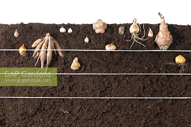 Planting summer bulbs - various planting depth depending on the plant
