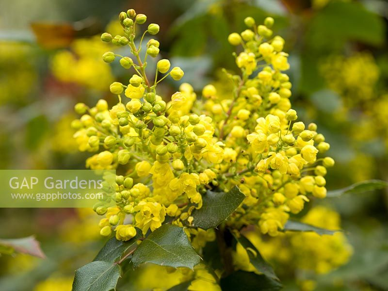 Gap gardens mahonia aquifolium oregon grape an evergreen shrub mahonia aquifolium oregon grape an evergreen shrub bearing upright clusters of small mightylinksfo