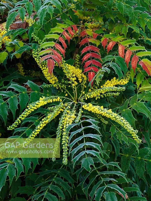 mahonia x lindsayae cantab an evergreen shrub with glossy green toothed leaflets