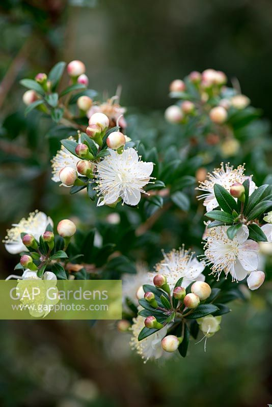 Gap gardens myrtus communis common myrtle a bushy evergreen myrtus communis common myrtle a bushy evergreen shrub bearing from late summer 5 petalled mightylinksfo