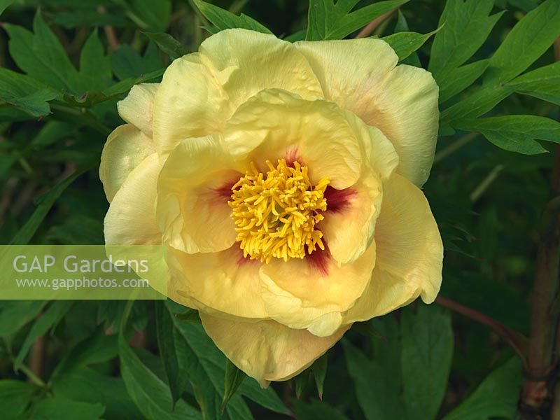 Gap Gardens Paeonia Golden Bowl A Tree Peony With Lemon Yellow