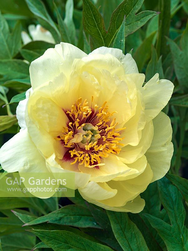Gap gardens paeonia x lemoinei esperance a tree peony flowering paeonia x lemoinei esperance a tree peony flowering in spring with single pale yellow mightylinksfo Choice Image