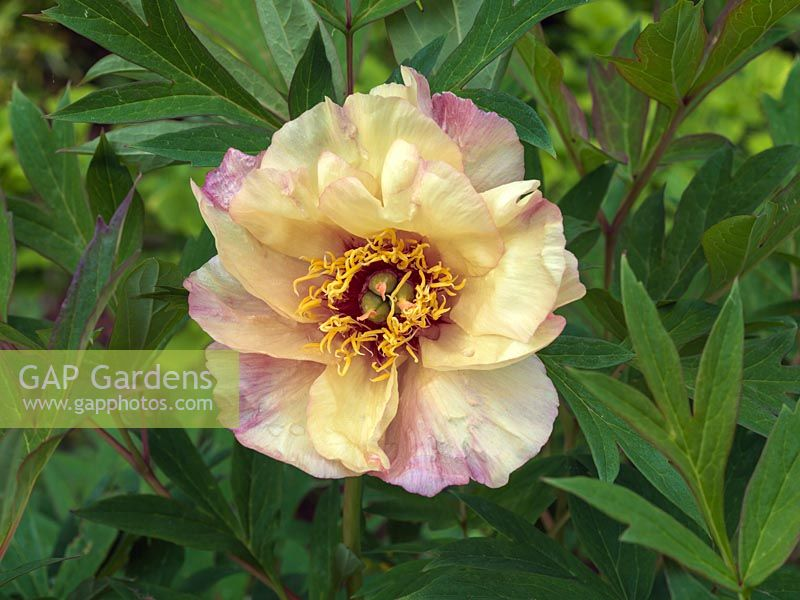 Gap gardens paeonia golden thunder a tree peony flowering in paeonia golden thunder a tree peony flowering in spring with single soft mightylinksfo